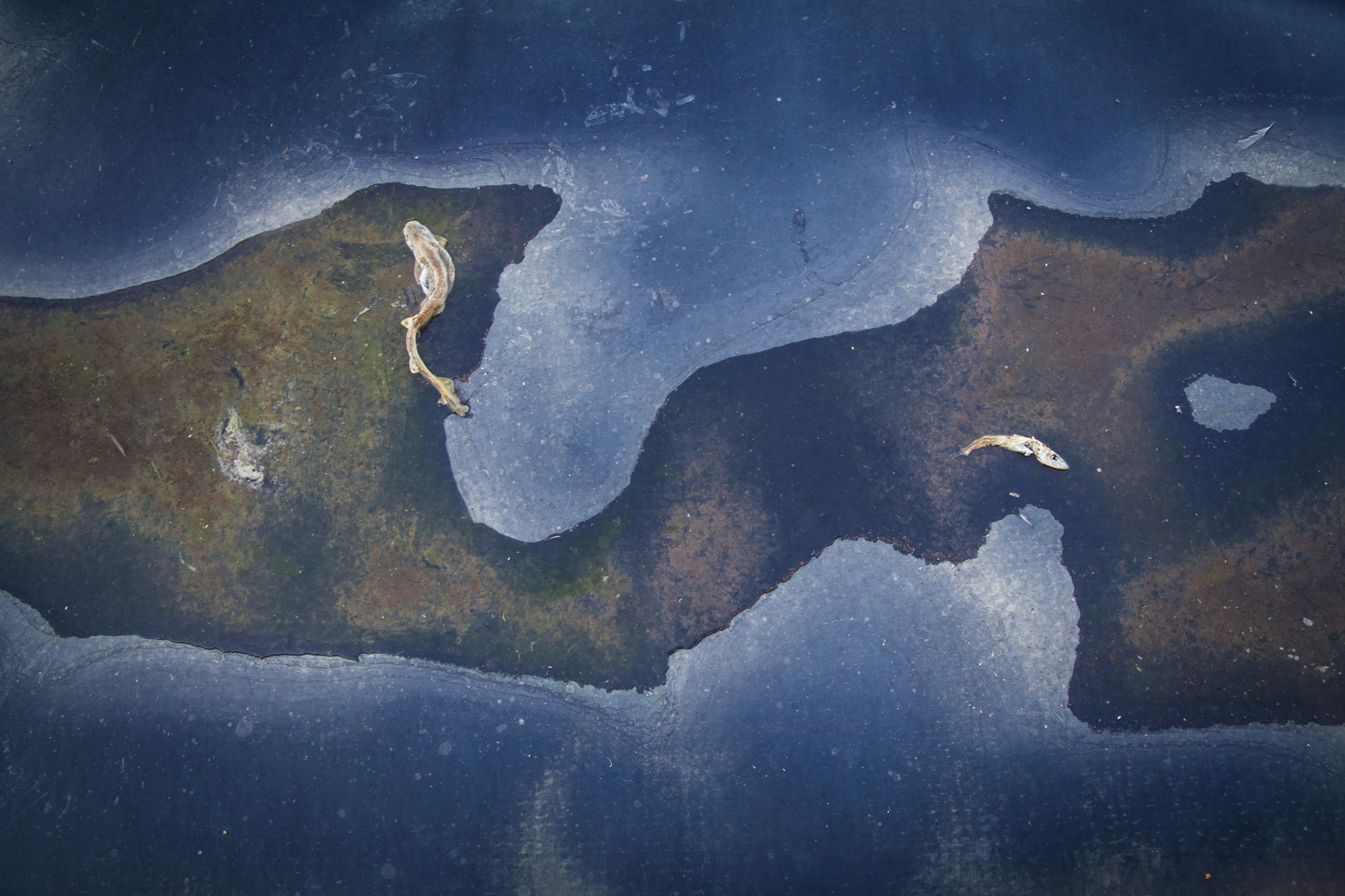Pesci morti su telo HDPE del lato est della fabbrica, S.I.To.Co. Orbetello (Grosseto), 2015.Le aree nord ed est della ex-S.I.To.Co. sono state coperte su decisione del Ministero dell'Ambiente per far sì che la cenere di pirite non contaminasse la prima falda d'acqua che si trova a circa 6/7 metri dal piano campagna.