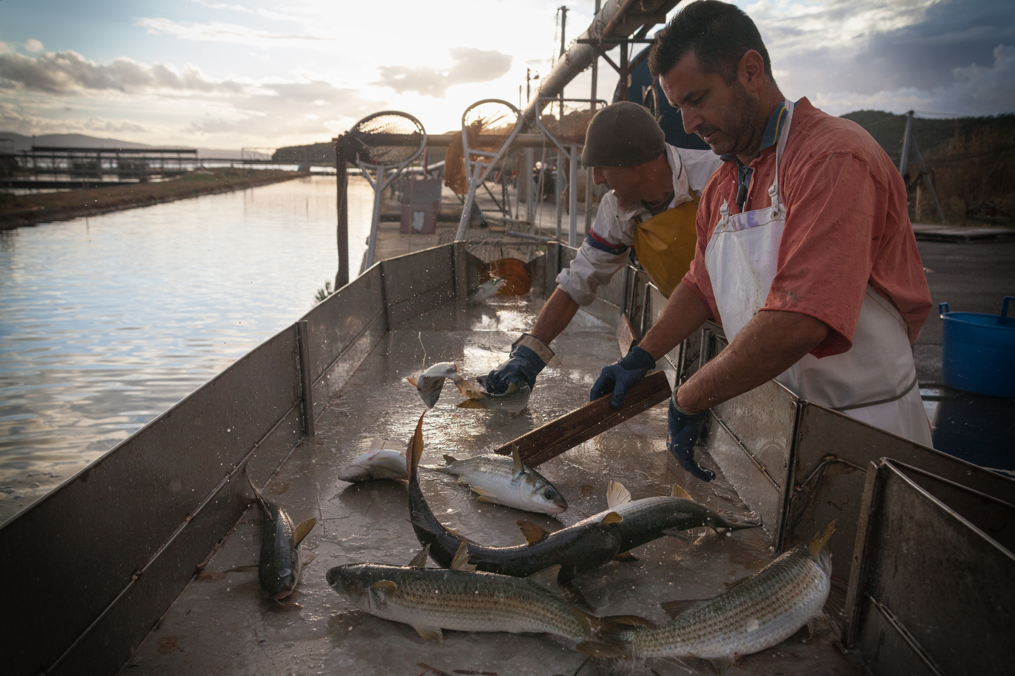 Selezione del pesce, Santa Liberata, Orbetello (Grosseto), 2015. Dopo la cattura, il pesce viene selezionato per genere e dimensione e i pesci sotto taglia , non ancora adatti alla commercializzazione, vengono liberati in laguna. I pescatori vorrebbero che il S.I.N. venisse bonificato per migliorare la qualità del loro pesce.
