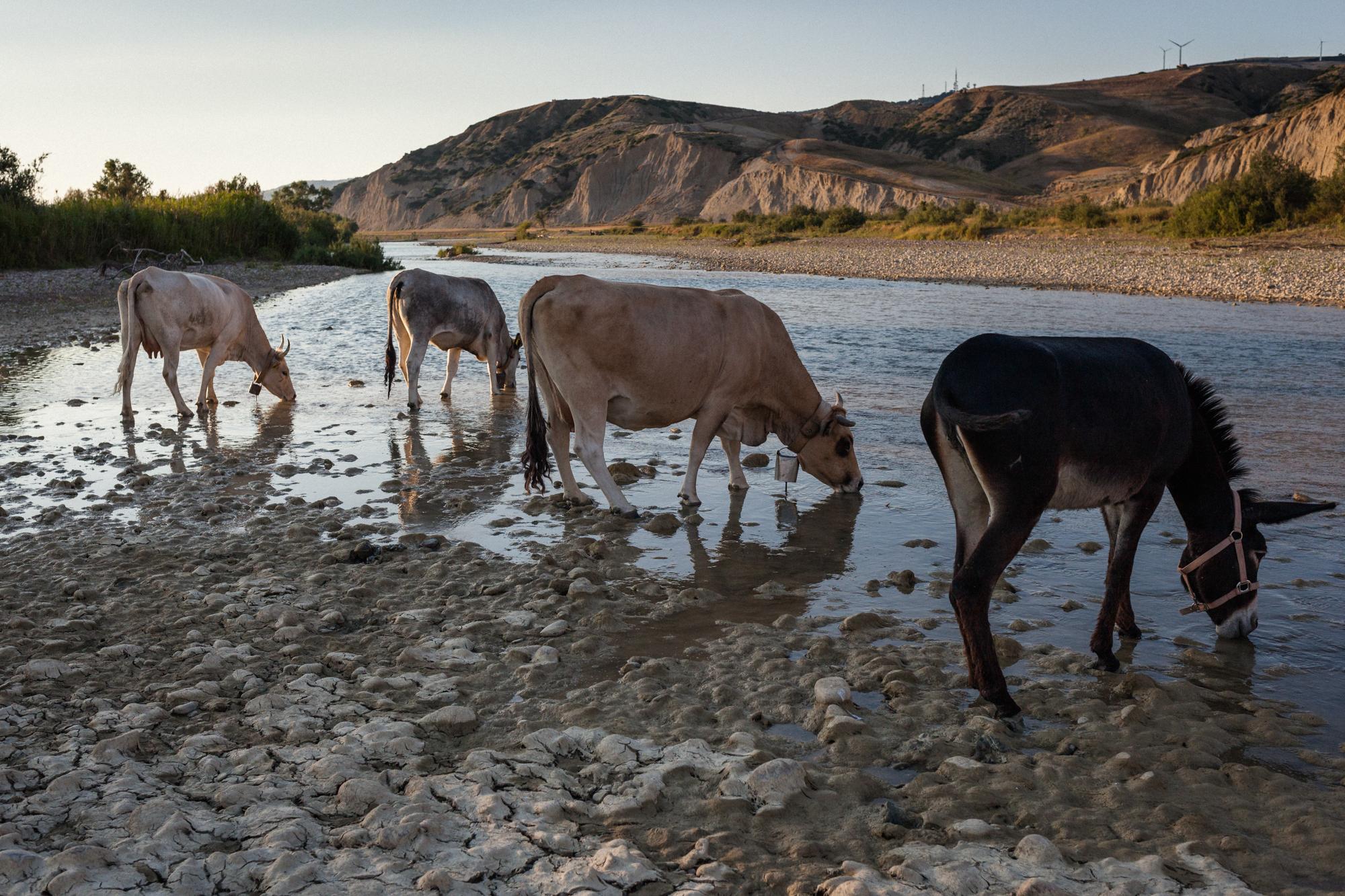 """Mucche podoliche si abbeverano lungo il fiume Basento, in zona Ferrandina (MT), 2015. Nel 2013, i sindaci di Pisticci e Ferrandina, sollecitati dall'Asm (Dipartimento prevenzione collettiva della salute umana), hanno emesso con ordinanza che vieta """"l'attingimento delle acque sotterranee e di falda e l'utilizzo delle stesse, per qualunque scopo, da parte d'insediamenti umani, produttivi e zootecnici presenti lungo la valle del Basento o in altre zone del territorio comunale""""."""