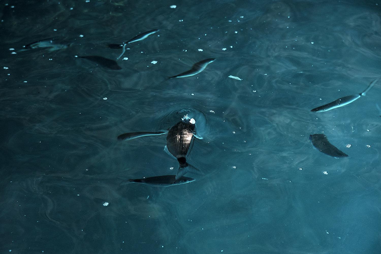 """42° 06' 51"""" N , 15° 28' 45"""" E Grotta delle Rondinelle, San Domino, Isole Tremiti  Frammenti di polistirolo galleggianti in superficie, vengono scambiati per cibo e ingeriti dai pesci."""