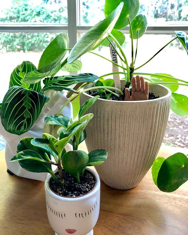 Meet June, Talia, and Frida. My new group of gal pals! They just love it over here!  #plants #pilea #prayerplant #plantlife #handsup #hellothere