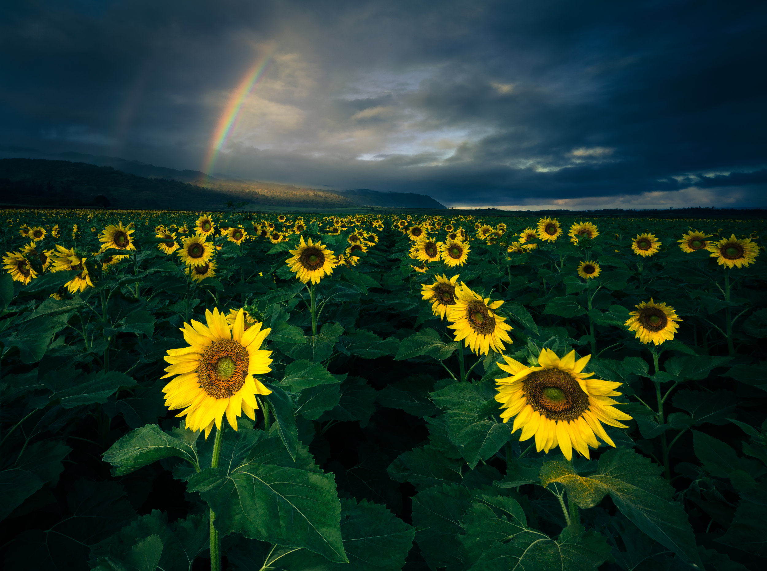 Wailua_Sunflower_Rainbow-1.jpg