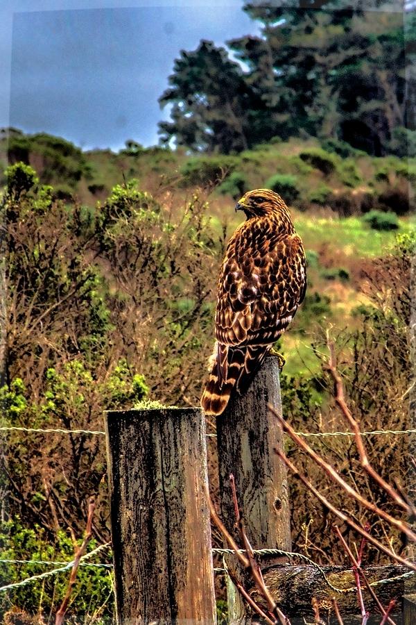 Red Shouldered Hawk, San Simeon State Beach
