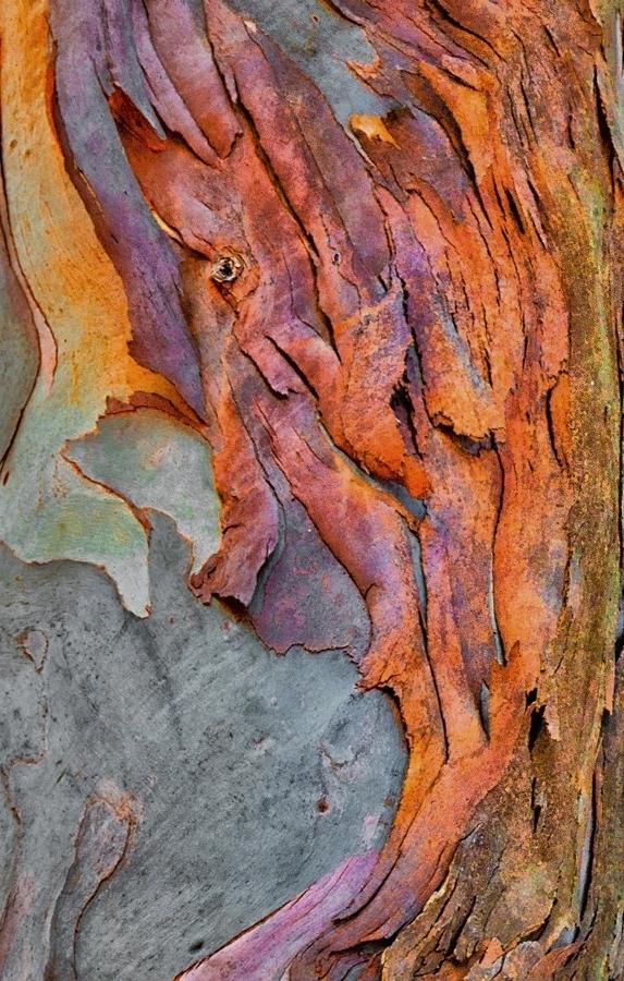 Eucalyptus Bark Detail 2425