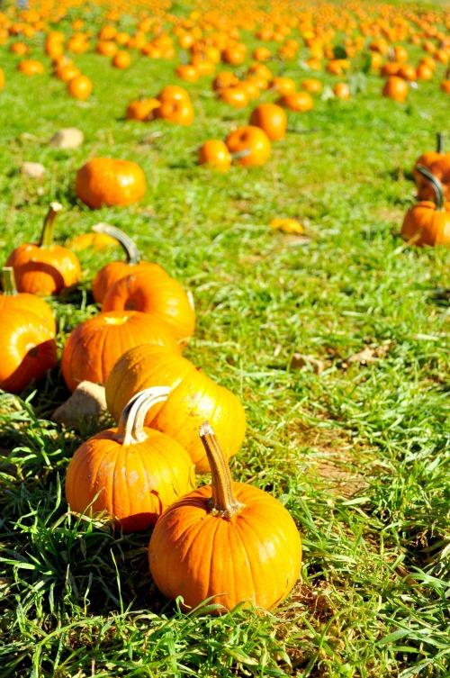 pumpkin pick 15 pumpkins2