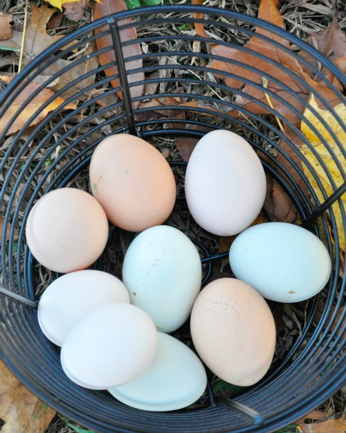 fall 15 chicken eggs.jpg