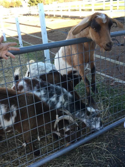 fall 15 goats2