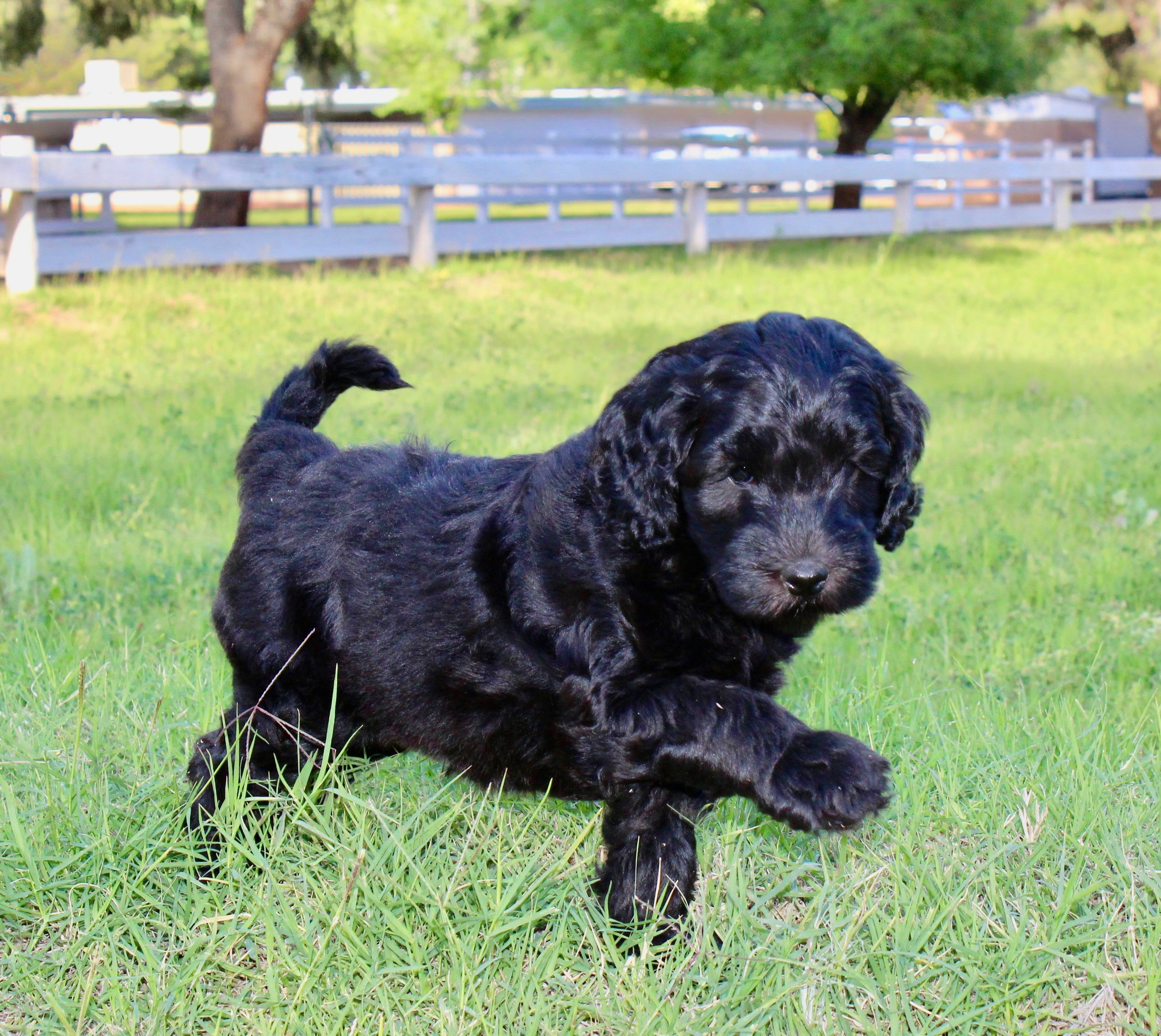 6 WEEKS MADISON (MY FAV) PRESIDENTIAL LITTER .jpg