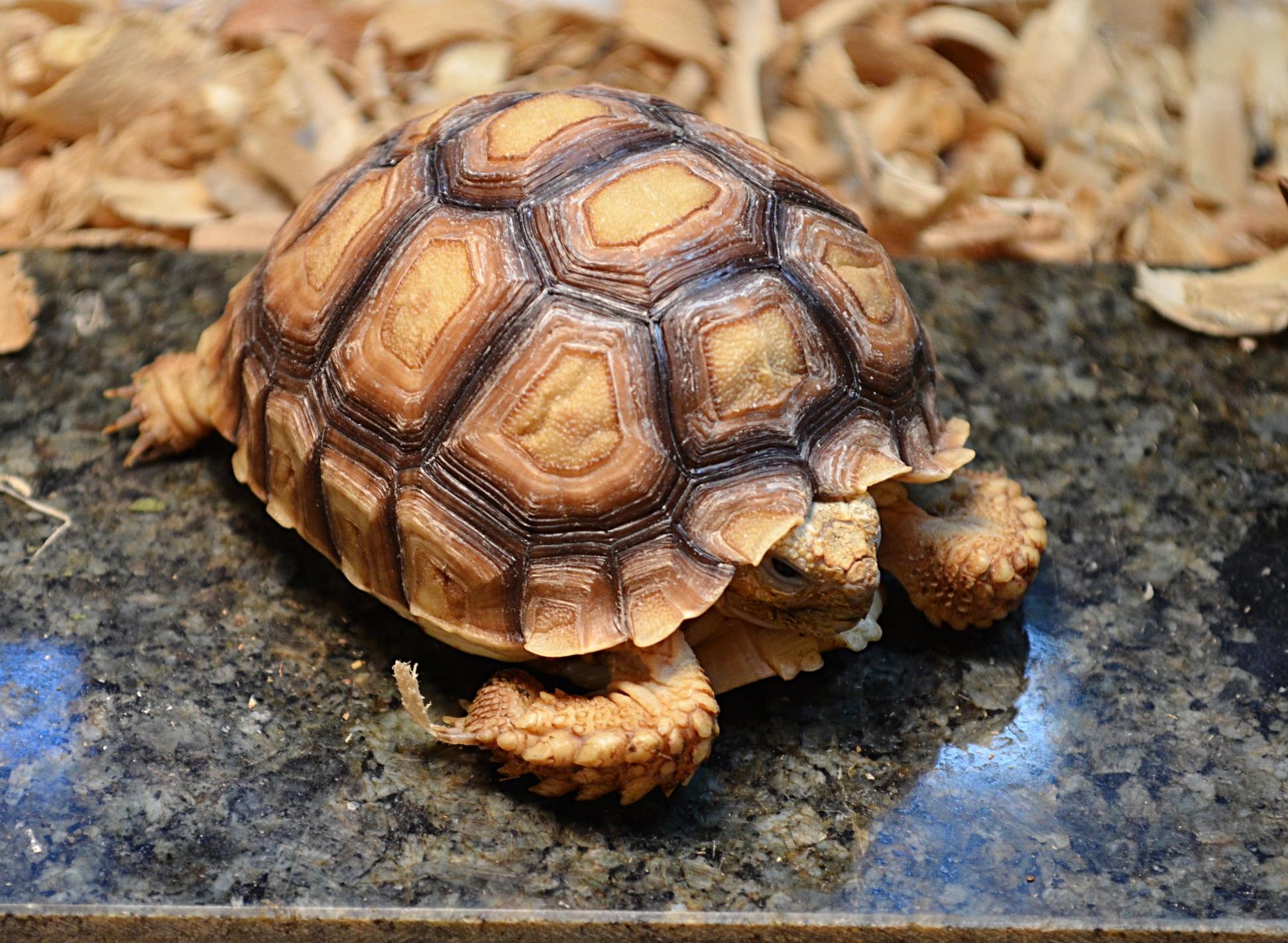 Sulcata Tortoise Care — Reptilian Arts