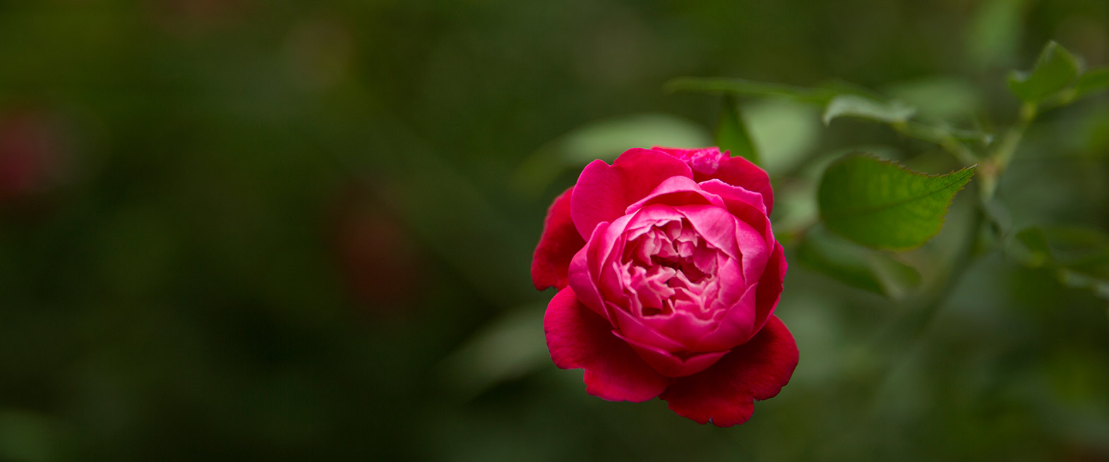 Rembrance-Gardens-Red-Rose.jpg
