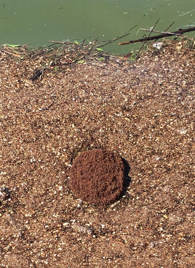Fire ant nest on Lake Grapevine, Texas