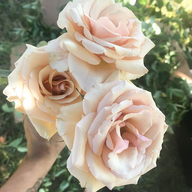 Days old caramel roses