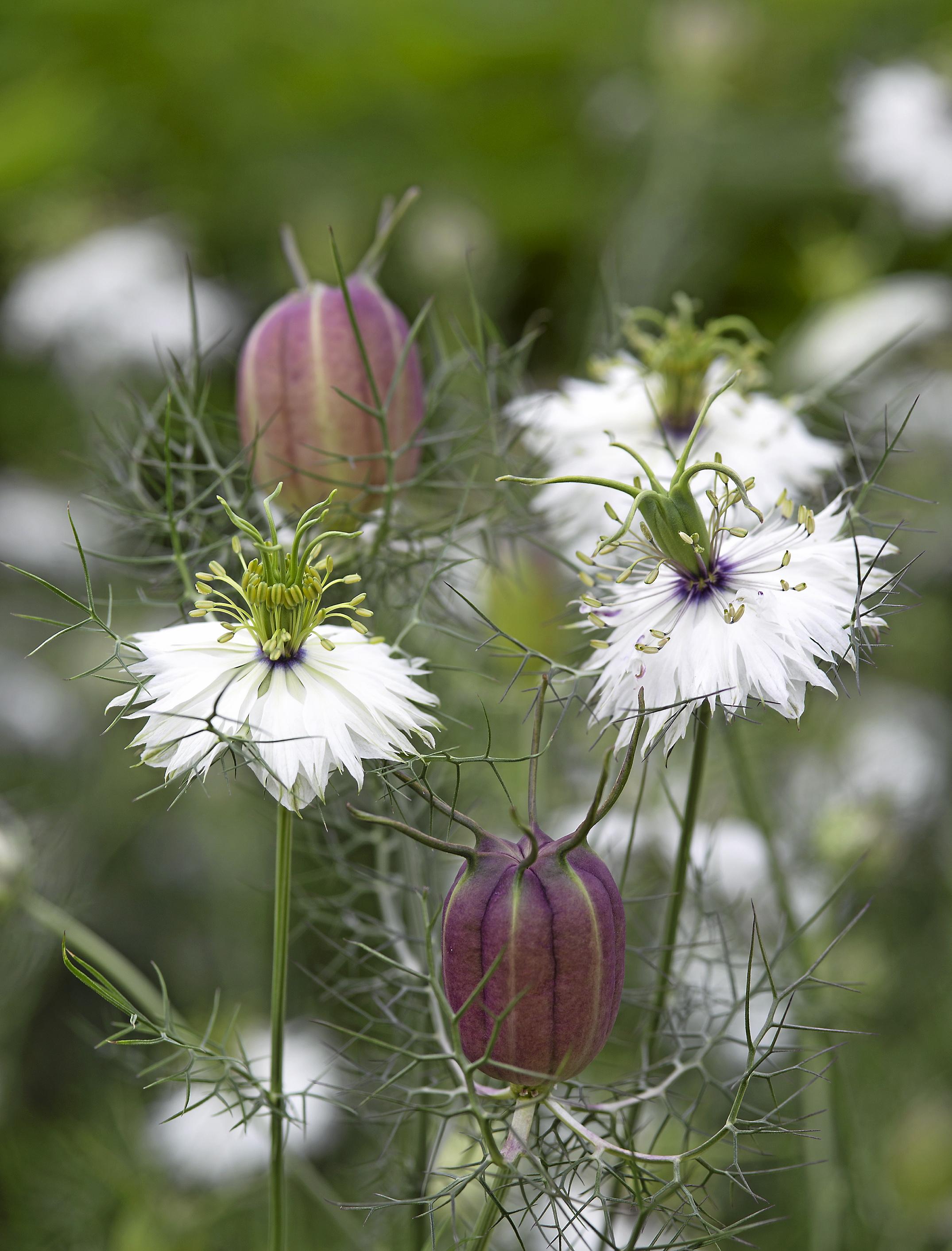 Jungfrulin som har vackra vita blommor är fina som snittblommor, sås direkt på växtplatsen i april–juni. Sås grunt i rader eller rundlar.