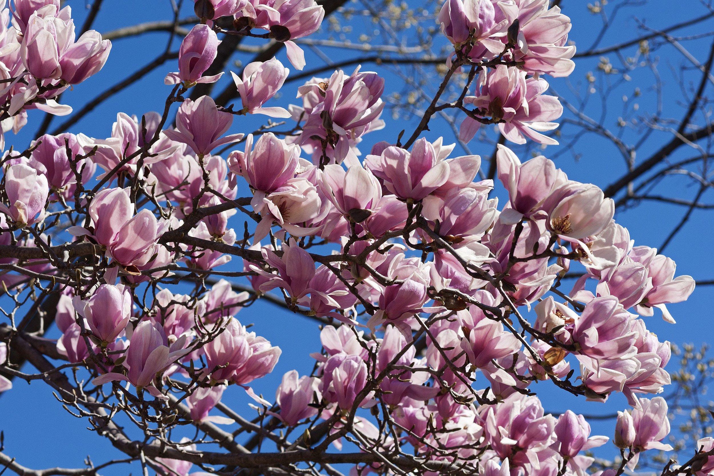 Magnolian blommar på bar kvist och är vårens första riktiga signal om att sommaren är på väg. Foto: Shutterstock