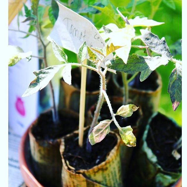 Nu är frågan, kommer vi drunkna i tomater i sommar? Oj, vad många roliga sorter det finns! Vi vill ha alla! Läs på Himma.io hur du bäst lyckas med dina tomater! Lycka till🌱🍅🌱🍅🌱🍅☀️ #hoshimma #grönafingrar #tomatodling foto @blomsterframjandet