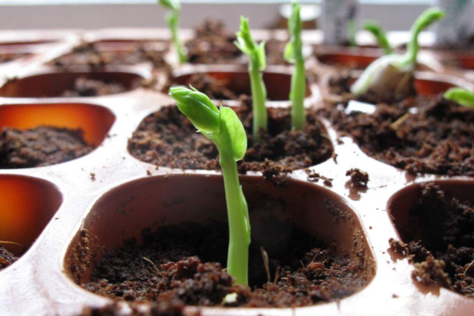 Pea Seedlings [ Flickr: Katia Strieck]