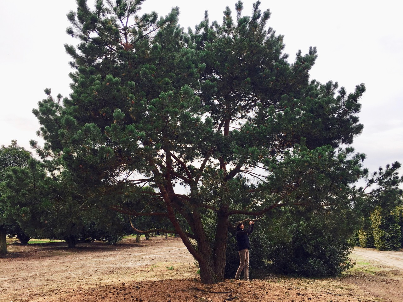 The pine tree at the nursery before the move