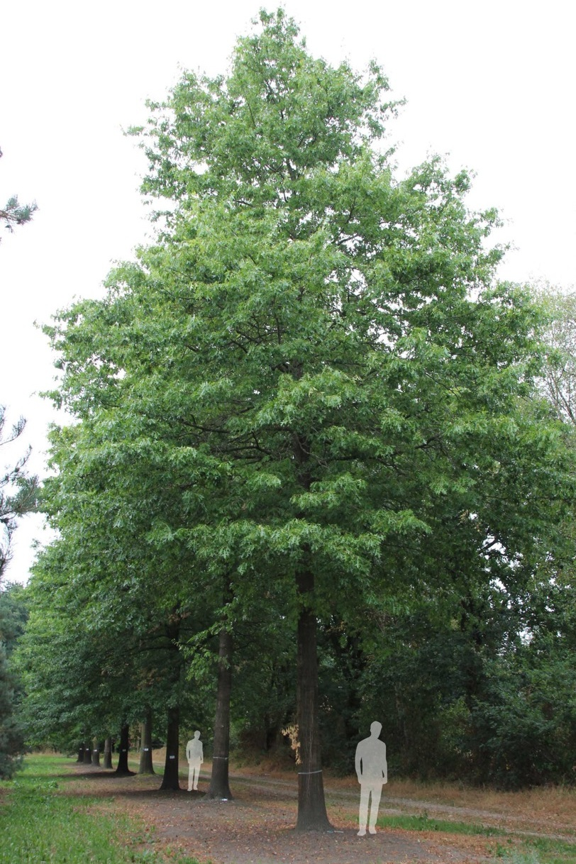 Going up for auction: 60 year old Quercus palustris (Pin Oak) Tree
