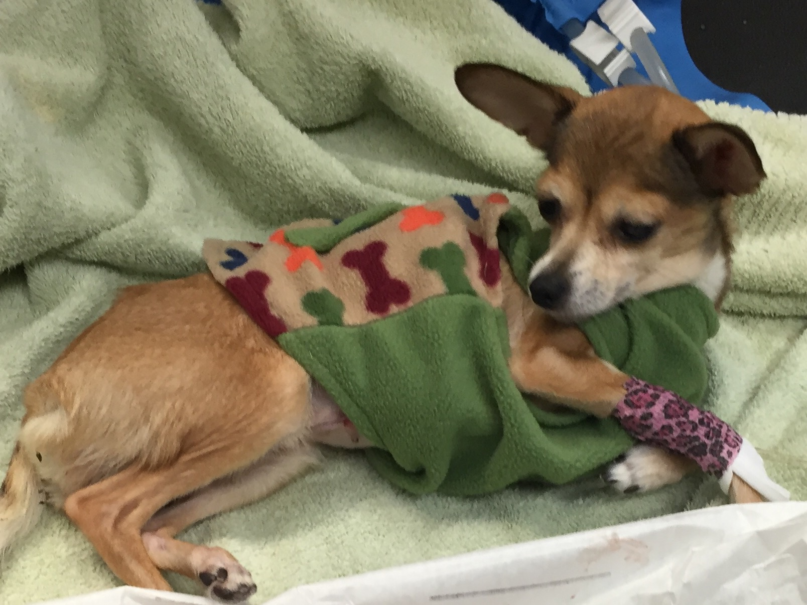 """Meet Pika - this sweet girl had a severe infection called a """"closed pyometra"""". Her pet parents could not afford the cost of surgery, without which she would have died. Pets in Need was able to step in and perform the surgery and save her life. It was a blessed day for all of us.  Please consider donating to Pets in Need through this website. Help us save more precious animals like Pika!!!!!"""