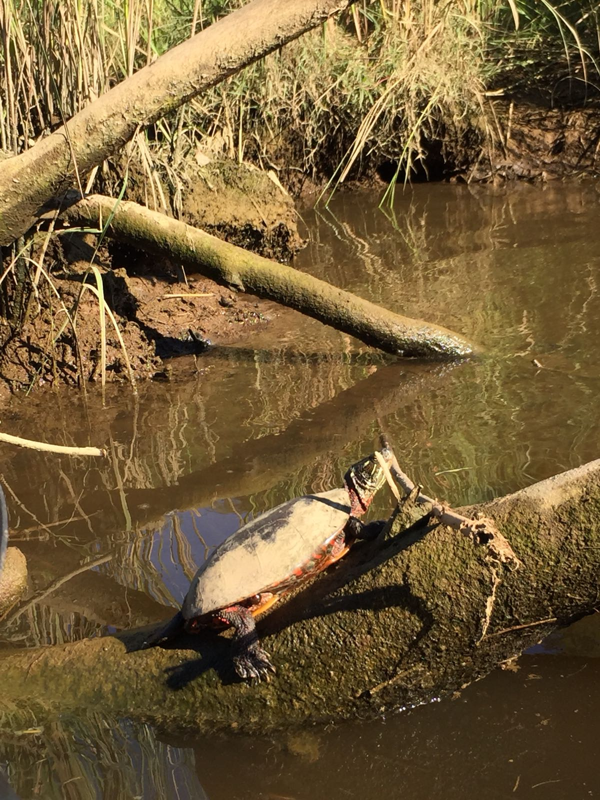 This is a Maryland Terrapin, an endangered turtle species. He is sunning on a beaver log.