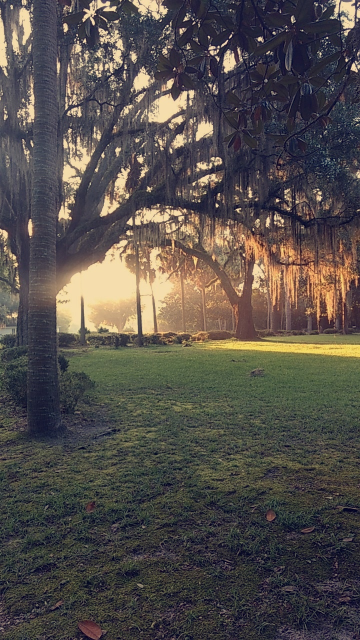 Morning sunlight in the palm and live oak trees.