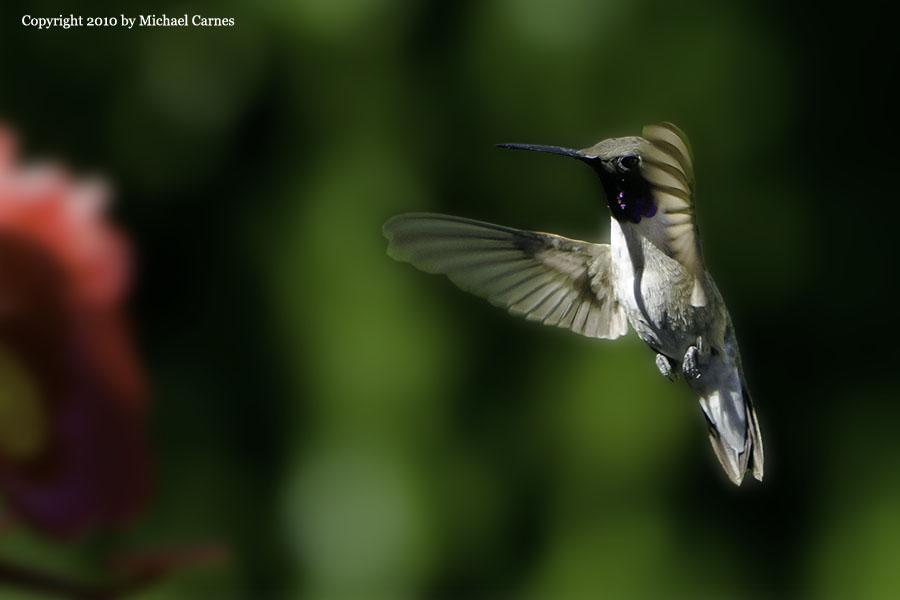 Male Blackchin Hummingbird