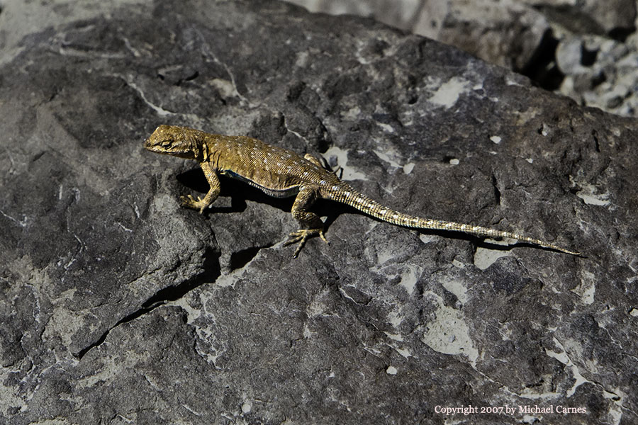 This little lizard posed in the Buckhorn Draw