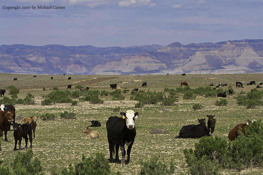 It wouldn't be a photo album without cows, would it? San Rafael Swell