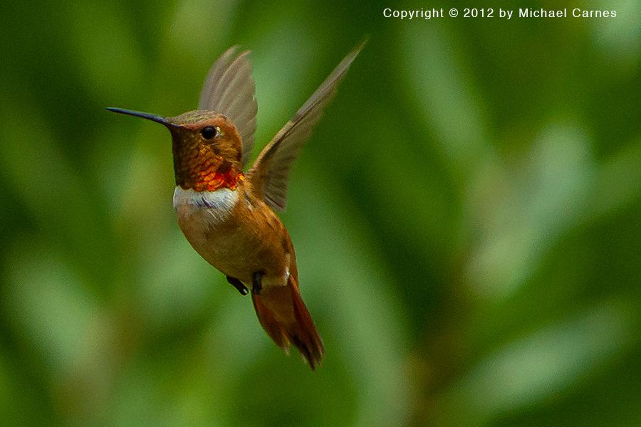 Male Rufous Hummingbird. Tiny and aggressive.