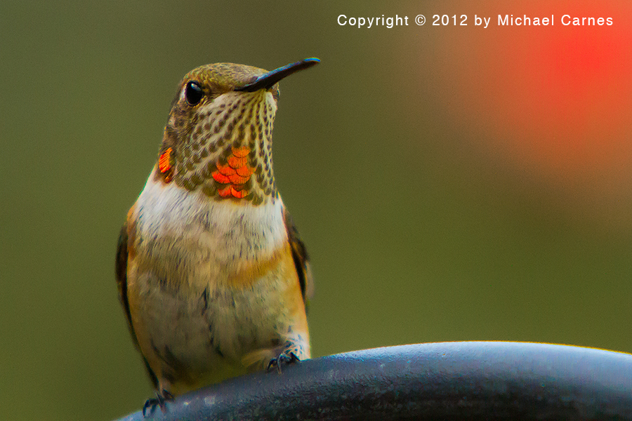 Male Rufous at rest. They hardly ever rest