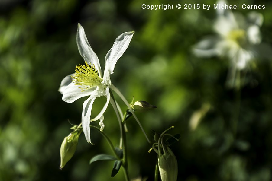 The Columbine is a familiar sight to those who live in the Rockies