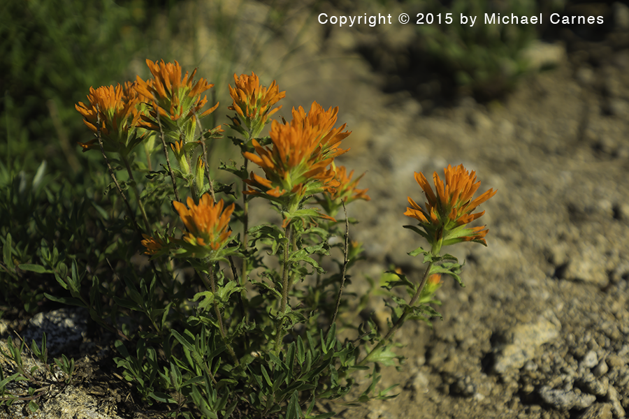 This Indian Paintbrush was photographed at about 10,000 near Twin Lakes pass