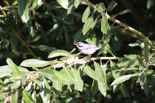 sssBlack-Throated Gray Warbler Santa Cruz Island 10 27 2013c.jpg
