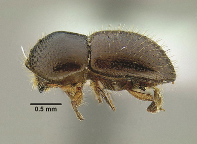 Adult beetles come in a range of shades between black (females) and brown (males) and are very small, ranging from 0.05 to 0.1 inches in length. Photo: Stacy Hishinuma, UC Davis, Department of Entomology.