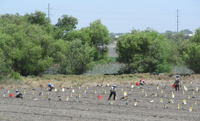 Riparian restoration at Dos Rios Ranch also provides sustained employment opportunities for area youth, such as members of the California Conservation Corps who assist with weed control, plant native species, and receive training on restoration methods.