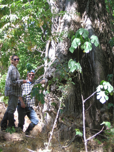 This gigantic cottonwood, whose diameter exceeds 196 cm, represents about 27.5 tons of carbon dioxide removed from the atmosphere, and a value of more than $300 in carbon credits.