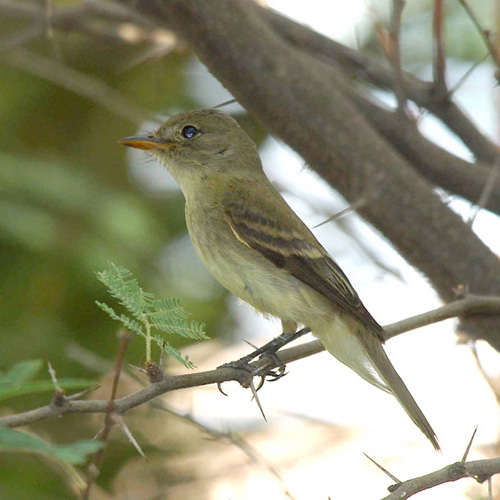 Southwestern Willow Flycatcher  sponsors receive a half-page ad in the conference program, a medium-sized ad in one issue of Ecesis, and two complimentary registrations. This is an ideal level for those who are not interested in having a booth at the conference.