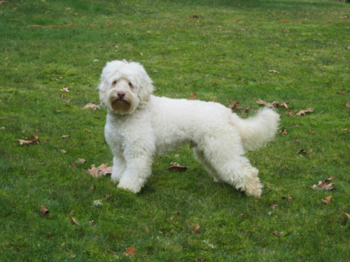 - Toby lives at Pondside Labradoodles with Grandma and Papa. His coat is like a sherpa blanket. He is mellow mannered. He rarely barks, except to politely ask to go outside and of course on the occasion where there are