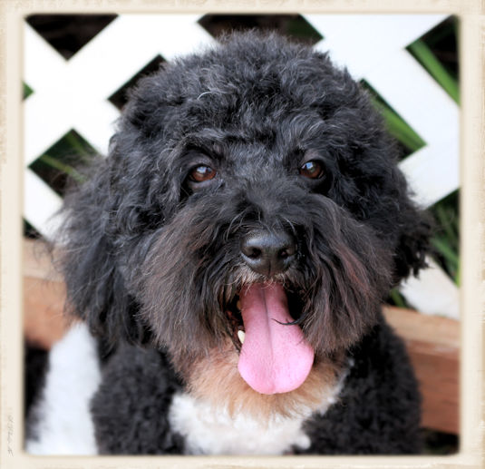 - Harry Lives with us at Bayside Labradoodles. He is the most dedicated faithful dog! He adores his mommy. He is an amazing father. He loves his puppies and he will watch them by the hours. He will climb fences and scale walls just to be near them. :)