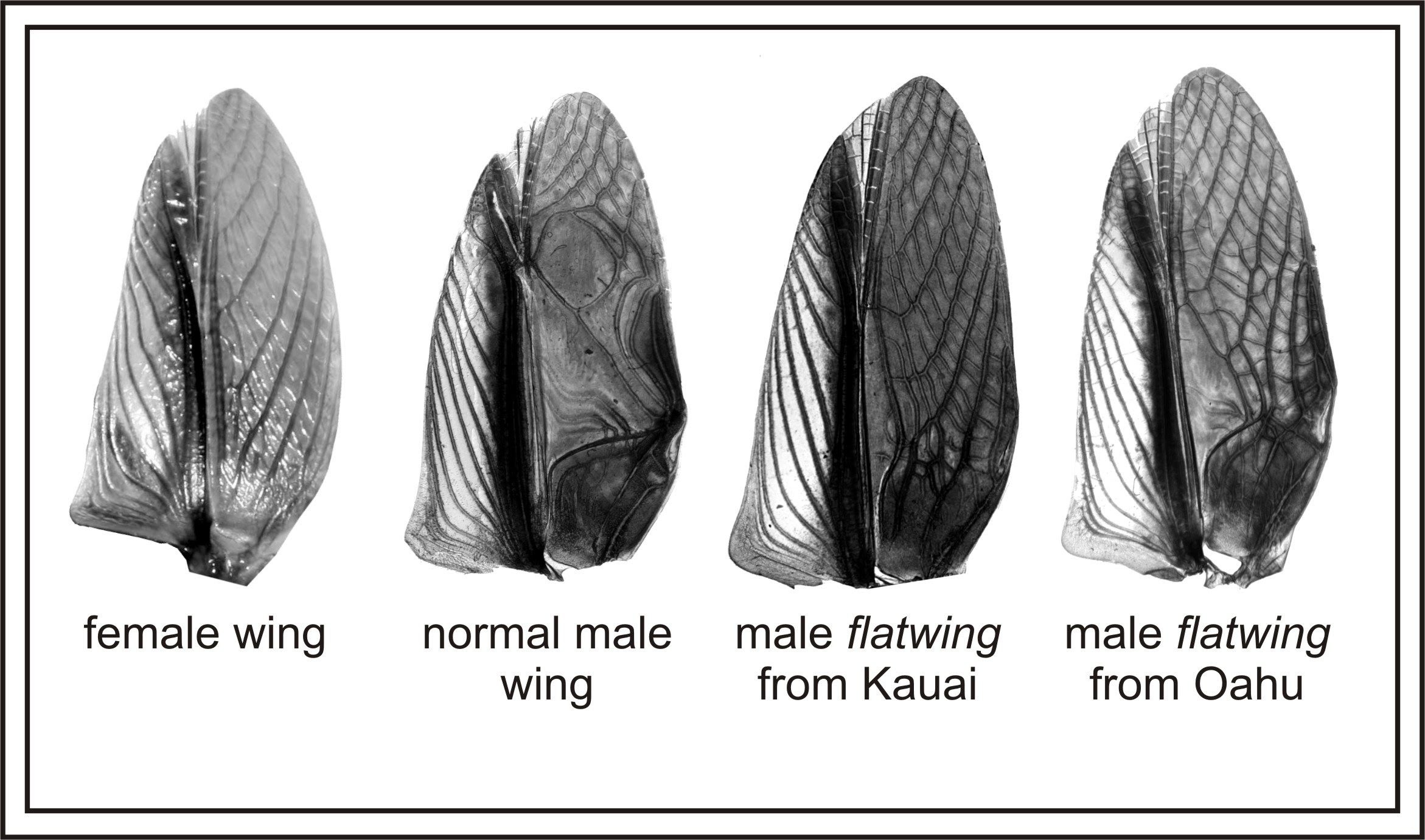 A comparison of flatwing and normal wings in  T. oceanicus. Nathan Bailey/Wikimedia Commons (CC BY 4.0)