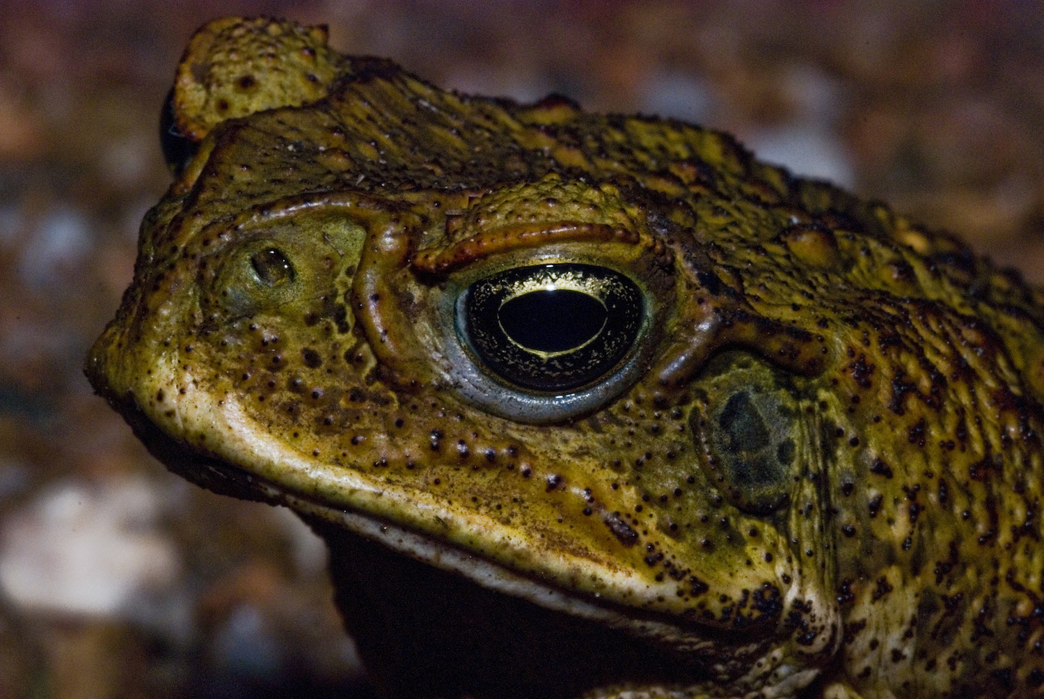 The cane toad is rapidly adapting to life in Australia.  Rod Barber/Flickr (CC BY-NC-ND 2.0)