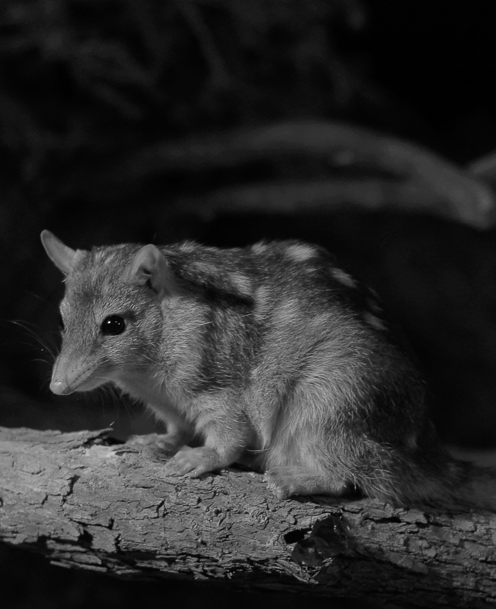 The northern quoll, one of many Australian natives threatened by cane toads.  SJ Bennett/Flickr (CC BY 2.0)