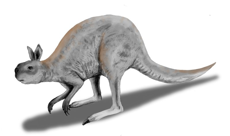 The extinct  Procoptodon  has an approximate analogue in the modern-day kangaroo.   Nobu Tamura/Wikimedia Commons  (CC BY 3.0)