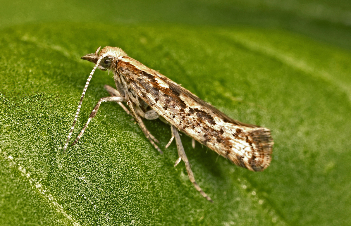 The diamondback moth is both a bothersome pest and a useful research subject.   David McClenaghan/CSIRO  (CC BY 3.0)