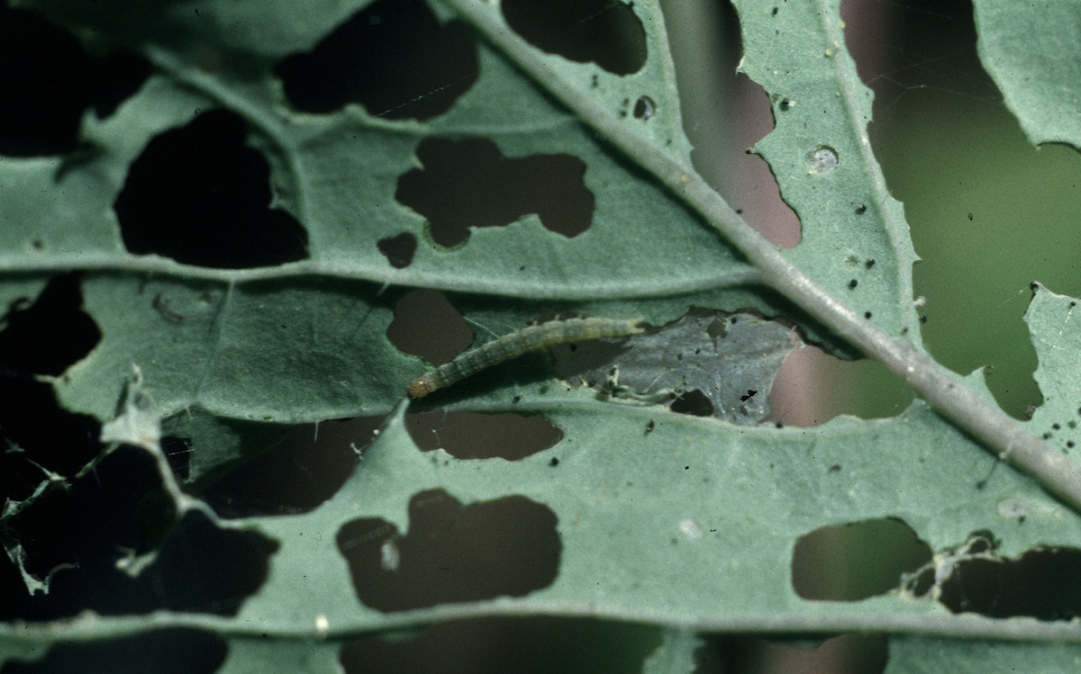 Diamondback moth larvae, seen here on a cabbage, have caused billions of dollars of crop damage.   Whitney Cranshaw, Colorado State University/Bugwood.org  (CC BY 3.0)