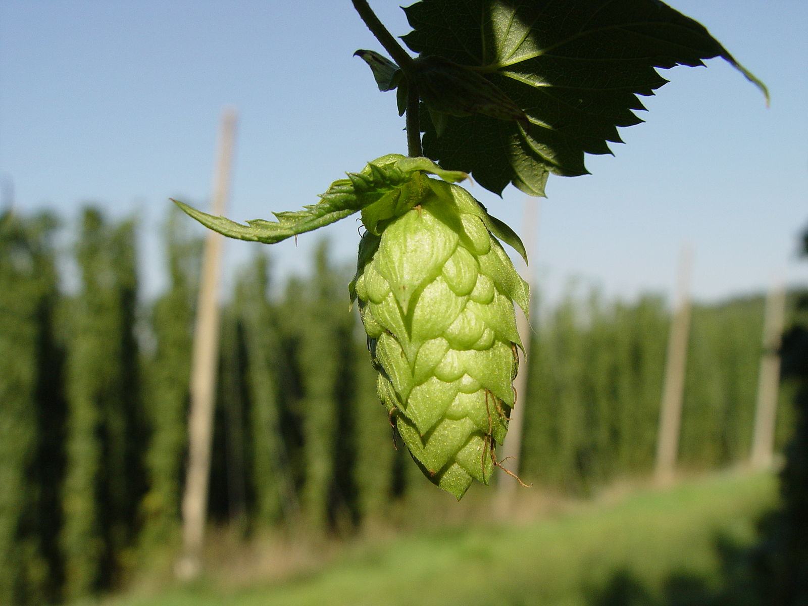 The Hellertau hop 'flower'.   Lucky Starr/Wikimedia Commons  (CC BY-SA 3.0)