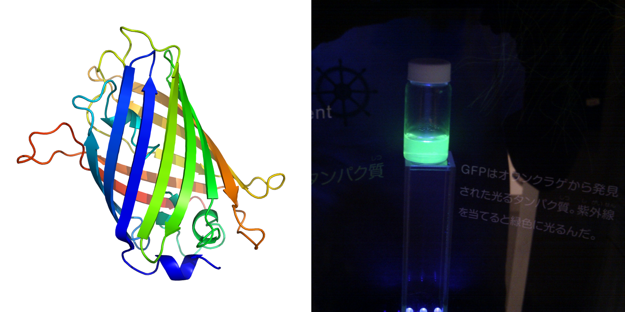 The structure of GFP, showing its almost perfect cylindrical shape (left), and illumination seen in purified GFP (right).   Richard Wheeler/Wikimedia Commons  (CC BY-SA 3.0);  OpenCage/Wikimedia Commons  (CC BY-SA 2.5)