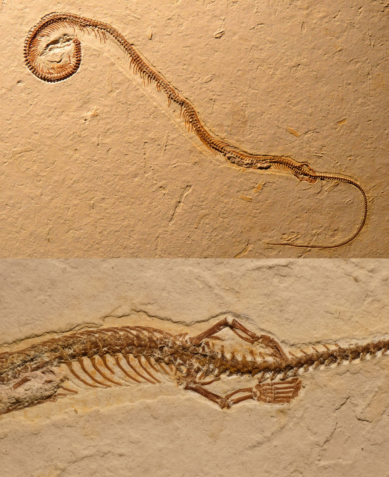 The fossil of  Tetrapodophis amplectus , showing its full snake-like skeleton (top) and protruding limbs (bottom).  David Martill/Helmet Tischlinger/Nicholas Longrich (used with permission)