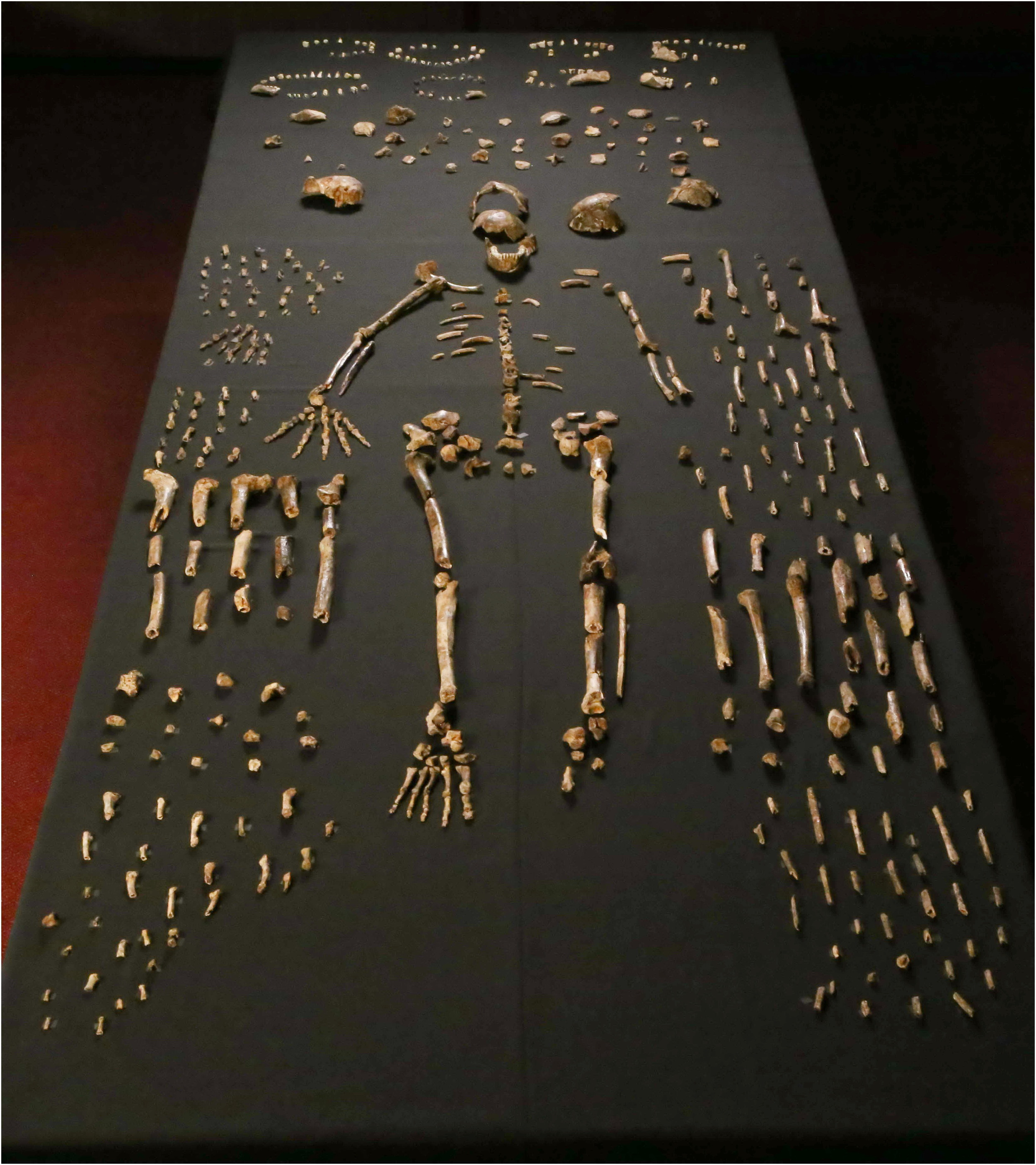 A sample of the 1550  H. naledi  skeletal pieces recovered at a single site in South Africa.   Berger et al. (2015)  (CC BY 4.0)
