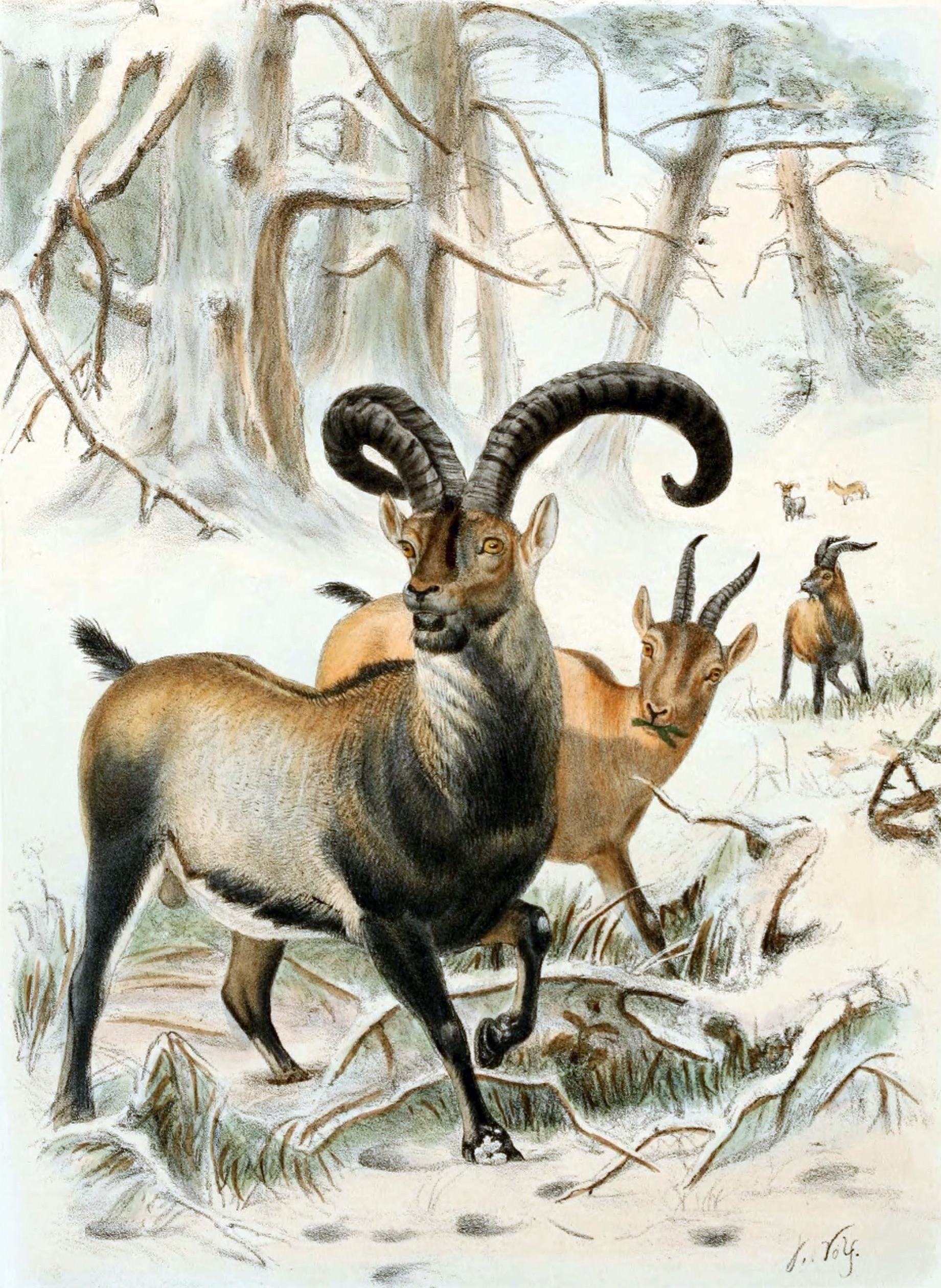 The Pyrenean ibex ( Capra pyrenaica pyrenaica ), illustrated here in 1898, remains extinct despite multiple cloning attempts.   Joseph Wolf/Wikimedia Commons  (public domain)